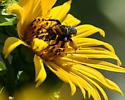 Black Longhorn Bee - Svastra obliqua