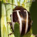 Beetle - Calligrapha bidenticola