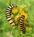 Cinnabar Moth Larva - Tyria jacobaeae