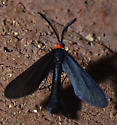 Grapeleaf Skeletonizer Moth   - Harrisina americana