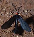 Grapeleaf Skeletonizer Moth   - Harrisina americana