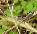 grasshopper, plebejus ? - male
