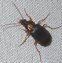 bronze & black beetle - Chlaenius tricolor - female