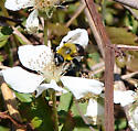 Bee mimic, Mallota bautias - Mallota bautias