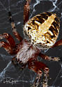 Orb Spider? - Neoscona domiciliorum