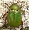 Green Scarab - Chrysina lecontei