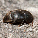 Very Tiny Beetle - Brachypterolus pulicarius