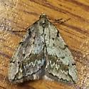 Geometridae: Paleacrita vernata - Paleacrita vernata - male