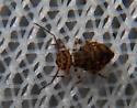 Globular springtail 2 - Bothriovulvus