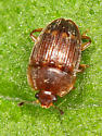 Small brown beetle - Stelidota geminata