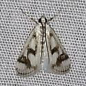 Polymorphic Pondweed Moth (4759) - Parapoynx maculalis