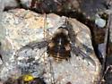 Bombylius lancifer or facialis? - Bombylius curtirhynchus - male