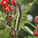 Moth or Butterfly caterpillar - Acronicta radcliffei