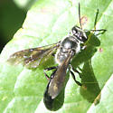 Wasp - Trypoxylon