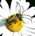 Lepterobosca chrysocoma mating pair - Lepturobosca chrysocoma - male - female