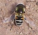 Fly - Eristalis stipator