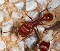 Pogonomyrex - Pogonomyrmex barbatus