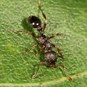 ant on a leaf - Myrmica