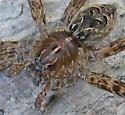 Fishing Spider on log - Dolomedes scriptus