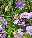 Bee/Morh - Hemaris