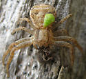 Insects and Arachnid - Xysticus - female