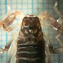 Small scorpion - Paruroctonus silvestrii