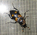 Unknown Large Block Beetle - Orange Spots - Babies on Back   - Nicrophorus orbicollis