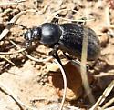 Eleodes - Stenomorpha convexicollis