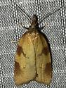 Sparganothis boweri - male