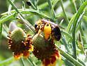 Big Bee - Svastra