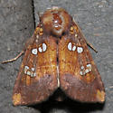 Indigo Stem Borer   Hodges #9485 - Papaipema baptisiae
