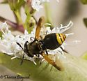 fly - Hoplitimyia mutabilis
