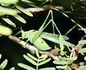 Elegant Bush Katydid - Insara elegans - male