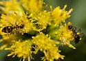 False Honey Ants - Prenolepis imparis - female
