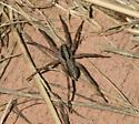 Spider on cement - Schizocosa