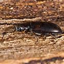 Unknown Beetle - Orsodacne atra