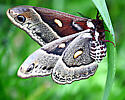 Maybe a Robin Moth? - Hyalophora columbia