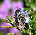 Bee species? - Megachile apicalis - female