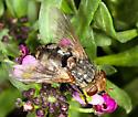 Tachinidae - Archytas marmoratus