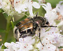 Beetle for ID - Trichiotinus affinis