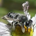 Megachile - Megachile newberryae