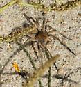 large tan and orange spider - Geolycosa missouriensis
