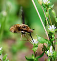 Is this a Bombylius major - Greater Bee Fly - Bombylius major