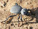 Omorgus Beetle? - Asbolus verrucosus
