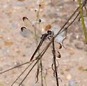 Dragon fly - Libellula