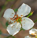 Tiny Seed Ticks Bugguide Net