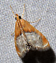 Sooty-winged Chalcoela Moth - Chalcoela iphitalis