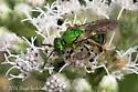 Halictid Bee - Agapostemon sp? - Agapostemon sericeus - female