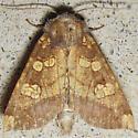 Burdock Borer - Hodges#9466 - Papaipema cataphracta