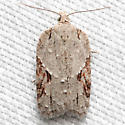 Acleris ptychogrammos